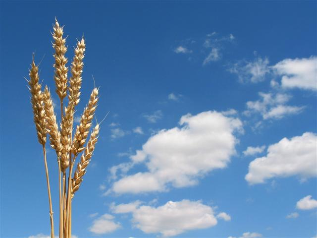 bolesti pšenice