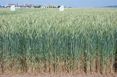 prezimljavanje strnih žita