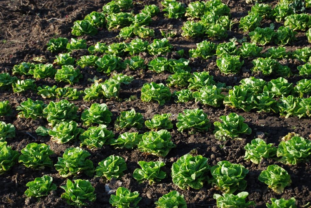 rasad salate