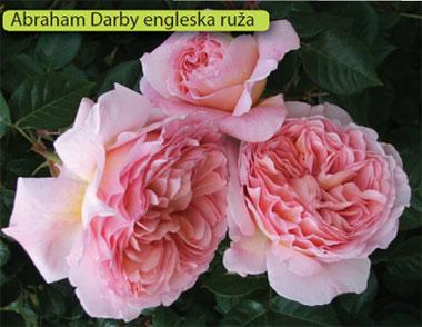 engleska ruža