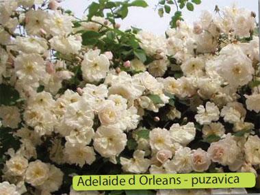 ruže puzavice