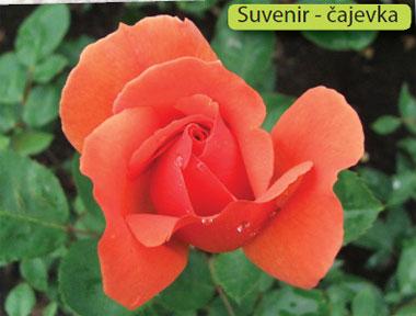sorte ruža