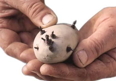 sadni materijal krompira