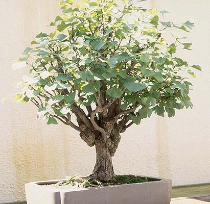 ukrasno drveće