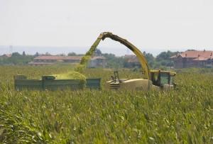 uzgoj uljane repice